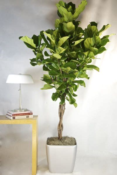 Houston Interior Plants by Trees And Fiddle Leaf Fig On