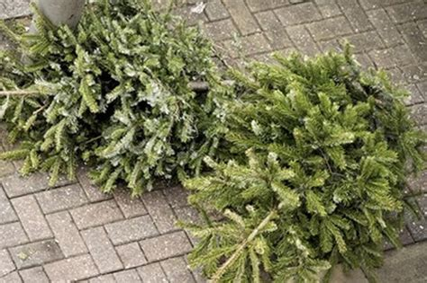 recycle your christmas tree for free this year get west