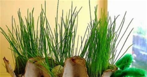 Bibit Ayam Potong Per Kardus percobaan sains sederhana membuat kreasi pot rumput