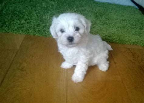 maltichon puppies for sale beautiful maltichon puppies only 1 boy left stockton on tees county durham