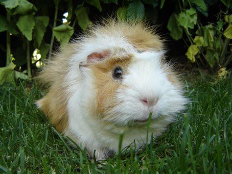 guinea pug file guinea pig meerschweinchen jpg