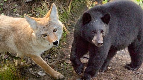 coyote vs coyote vs