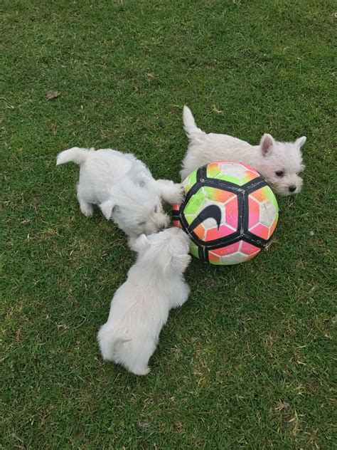 puppies for sale st louis mo west highland white terrier puppies for sale st louis mo 218343