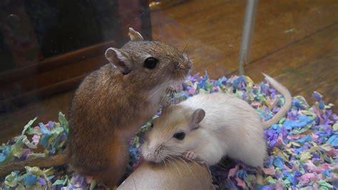 gerbil bedding adorable gerbils enjoy quot kaytee clean cozy quot bedding youtube