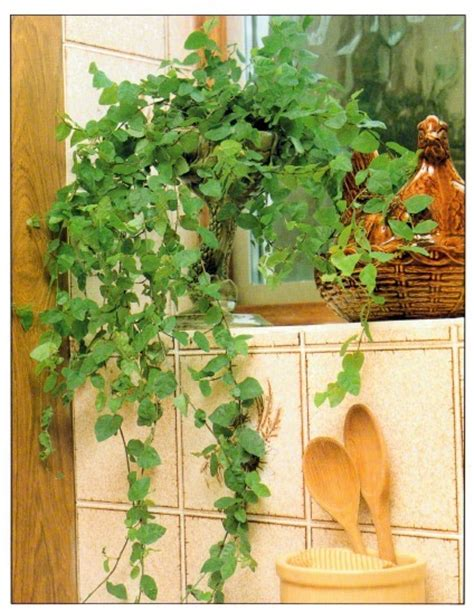 climbing houseplants to grow indoors creeping fig ficus pumila