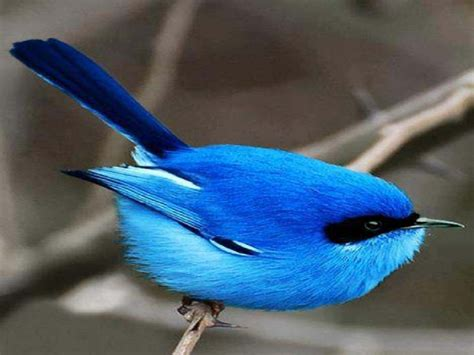 Blue Biru blue birds search awesome