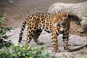 Jaguar Image Gallery Photo Gratuite Jaguar Animal Zoo Nature F 233 Image