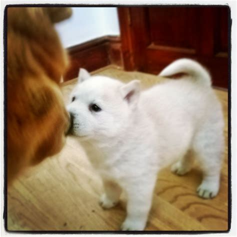 chowski puppies beautiful white chowski puppy rotherham south pets4homes