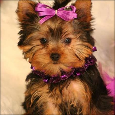 free yorkie puppies in ohio adorable teacup yorkie pups for free adoption lovelyhome2 gmail northeast ohio