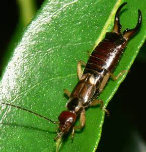 Garden Apartments Bugs How Do I Get Rid Of Earwigs In My Garden
