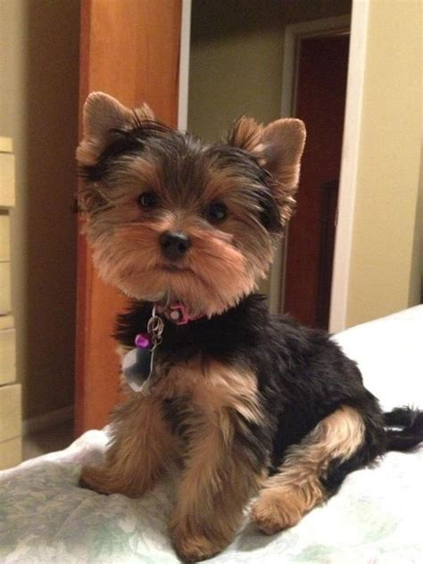 yorkie hair or fur best 25 yorkie hair cuts ideas on yorkie cuts yorkie cut and yorkie haircuts