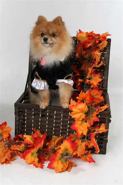 pomeranian in costume pomeranian costume puppies