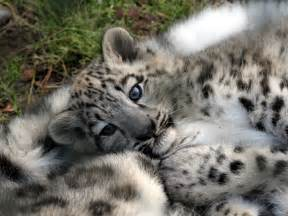 Snow leopard with images 183 mr jesus 183 storify