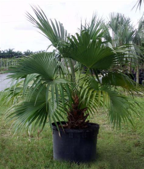 planting fan palm trees southeast texas guide to palm trees beaumont enterprise