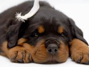 Free Puppies Puppy Dogs Rottweiler Puppies