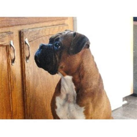 free puppies rochester ny boxer breeders in new york freedoglistings