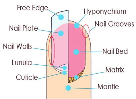nail bed anatomy colour your style nail care tips