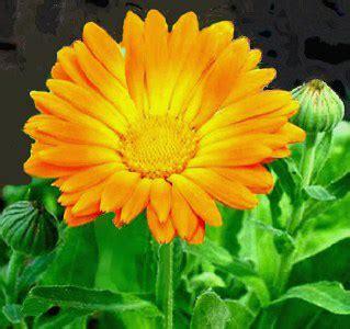 fiori di calendula calendula