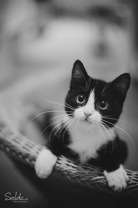 152 best Tuxedo Cats images on Pinterest | Cute kittens