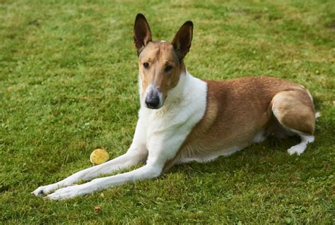 Smooth Collie Shedding by Smooth Collie Breed Information Buying Advice Photos And More Pets4homes