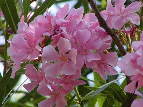 fiore oleandro oleandro piante da giardino coltivazione oleandro