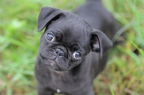 black pugs vs fawn pugs 448 best images about black pug puppies on pug and fawn pug