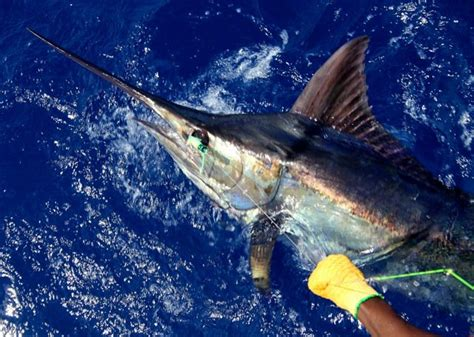 wallpaper blue marlin sailfish backgrounds related keywords suggestions