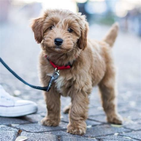 miniature goldendoodle lifespan miniature goldendoodle 8 w o demonbreun