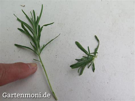 Lavendel Schneiden Und Trocknen by Lavendel Pflanzen Pflegen Schneiden Vermehren Trocknen