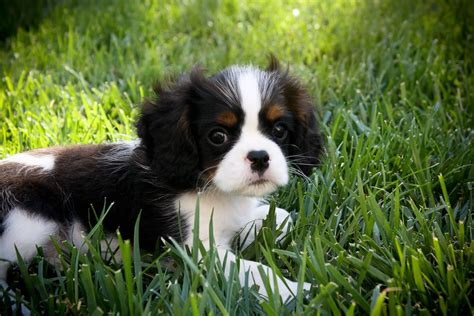 blenheim color blenheim or tri color cavalier cavaliers come in four