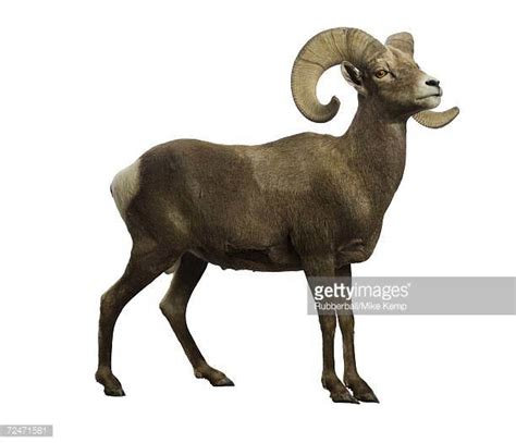 what is a ram in aputer ram animal stock photos and pictures getty images