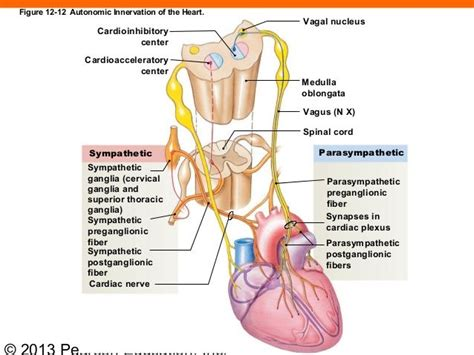 Spinal Ganglia Detox by 163 Best Anatomy And Physiology Images On