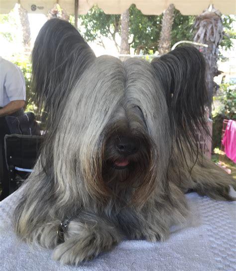 skye terrier summer groom skye terrier information dog breeds at thepetowners