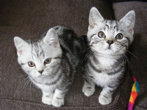 Silver Tabby Kittens Ready Now   Rugeley, Staffordshire
