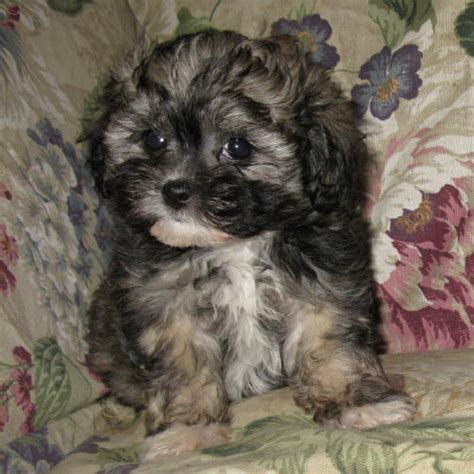 yorkie puppies for sale in indiana yorkie poo puppies for sale in indiana image breeds