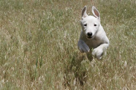 running puppy running greyhound puppy baby animal zoo