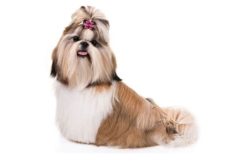 male shih tzu hair styles shih tzu dog breed information