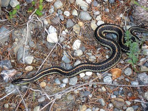 garden snake   garden   washington state flickr