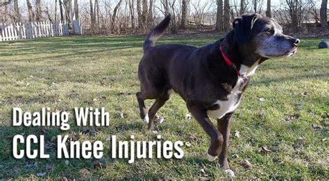 ccl in dogs dealing with ccl knee injuries in dogs chasing tales