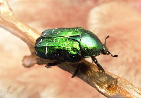 www bed bugs green beetle bug