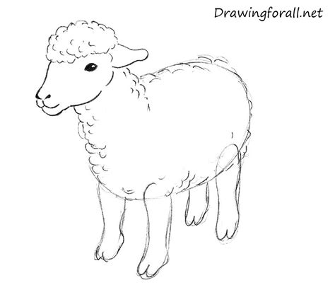 Drawing Of A by How To Draw A Sheep For Drawingforall Net