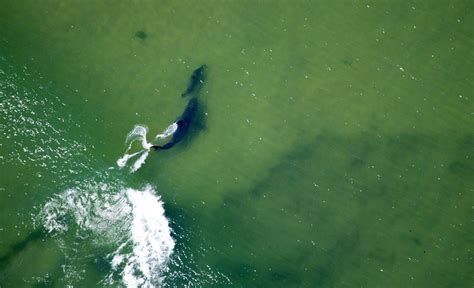 shark cape cod great white shark versus seal dramatic photographed