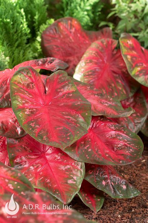 caladium fancy leaf red flash ships  spring caladium