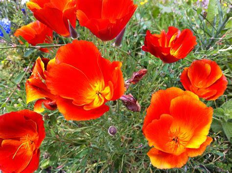 california poppy california poppy sunil s garden