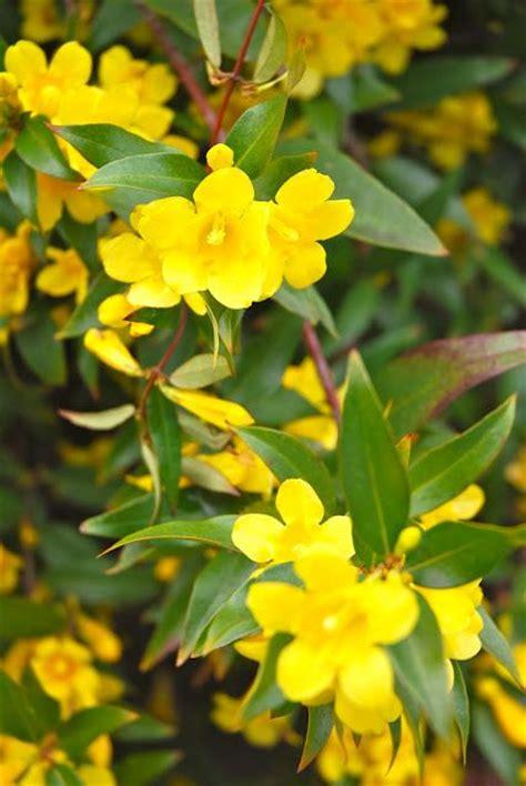 carolina flower south carolina state flower yellow jessamine carolina nothing could be a finer than