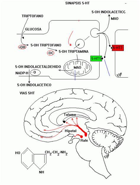 serotonina alimentazione alimentazione e cervello dieta consigliata inserzioneworld