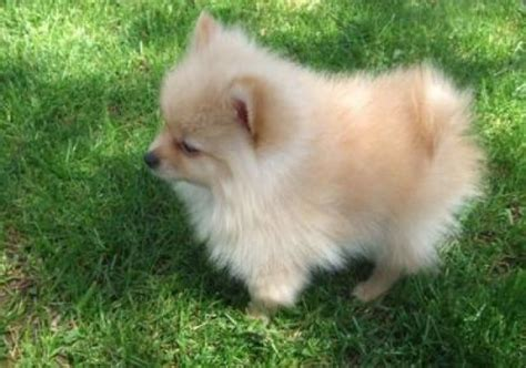 adopt a pomeranian puppy adopt pomeranian breeds picture