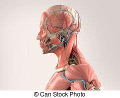 testa anatomia testa anatomia vista lato contro testa