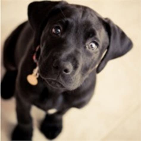 black lab boxer mix puppy boxer lab mix puppy this is what is