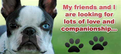 adopt a boston adopt a boston terrier in ohio dogs our friends photo
